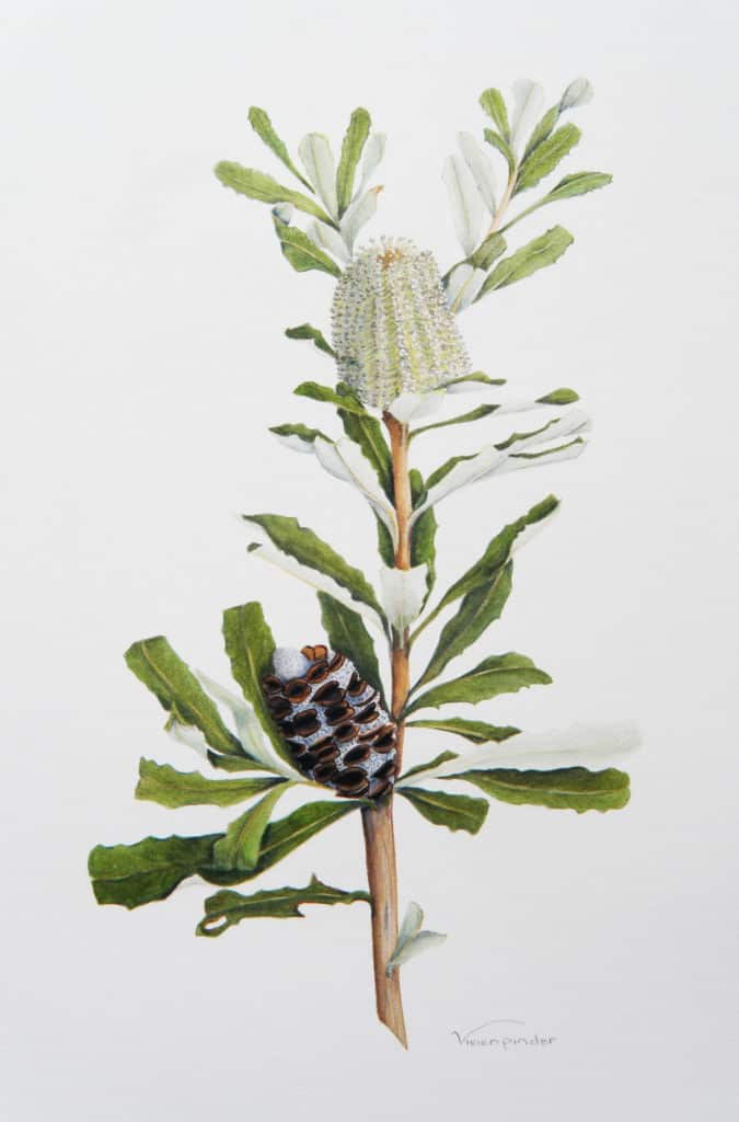 Viv Pinder Banksia integrifolia 2014 watercolour