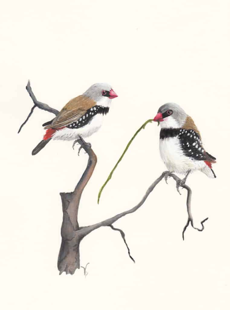 Viv Pinder Diamond Firetail watercolour and gouache 2014