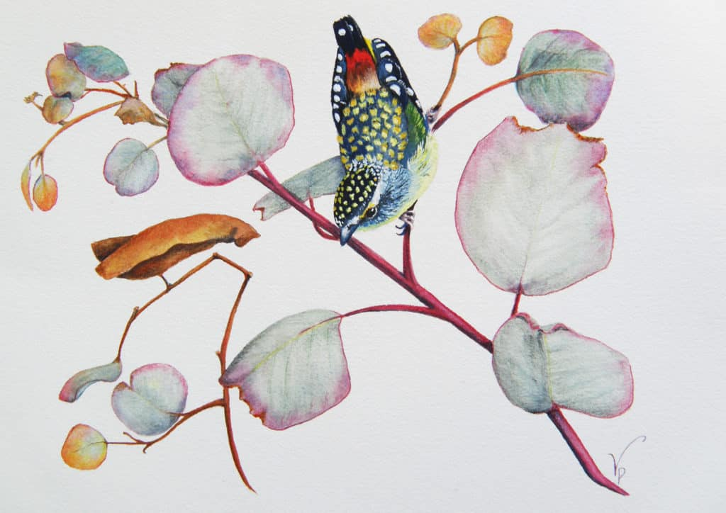 Eucalypt leaves with Spotted Pardalotte -  watercolour, penciland gouache 2014