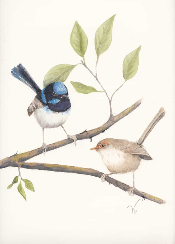 Viv Pinder Superb Fairy Wrens watercolour 2014